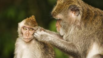 Long-tailed macaque (Macaca fascicularis). Portrait of mother grooming young. Also known as crab-eating macaque. Primarily arboreal animals that is native to Southeast Asia. Alas Kedaton Monkey Forest. Bali, Indonesia.