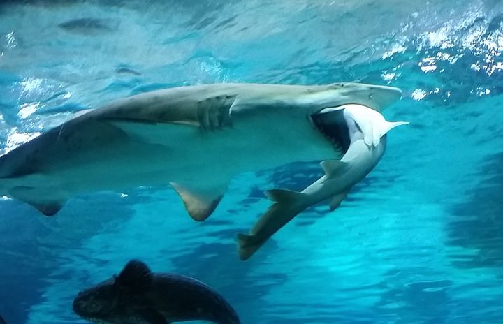 The sand tiger shark feasted on her opponent for 21 hours.