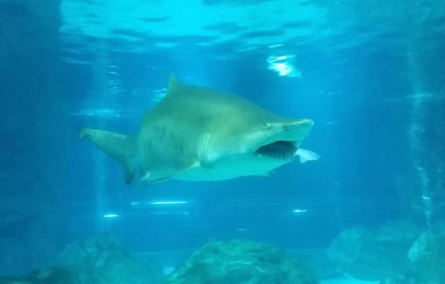 Sand tiger sharks can grow to 10.5 feet long in the