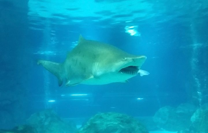 Sand tiger sharks can grow to 10.5 feet long in the wild.
