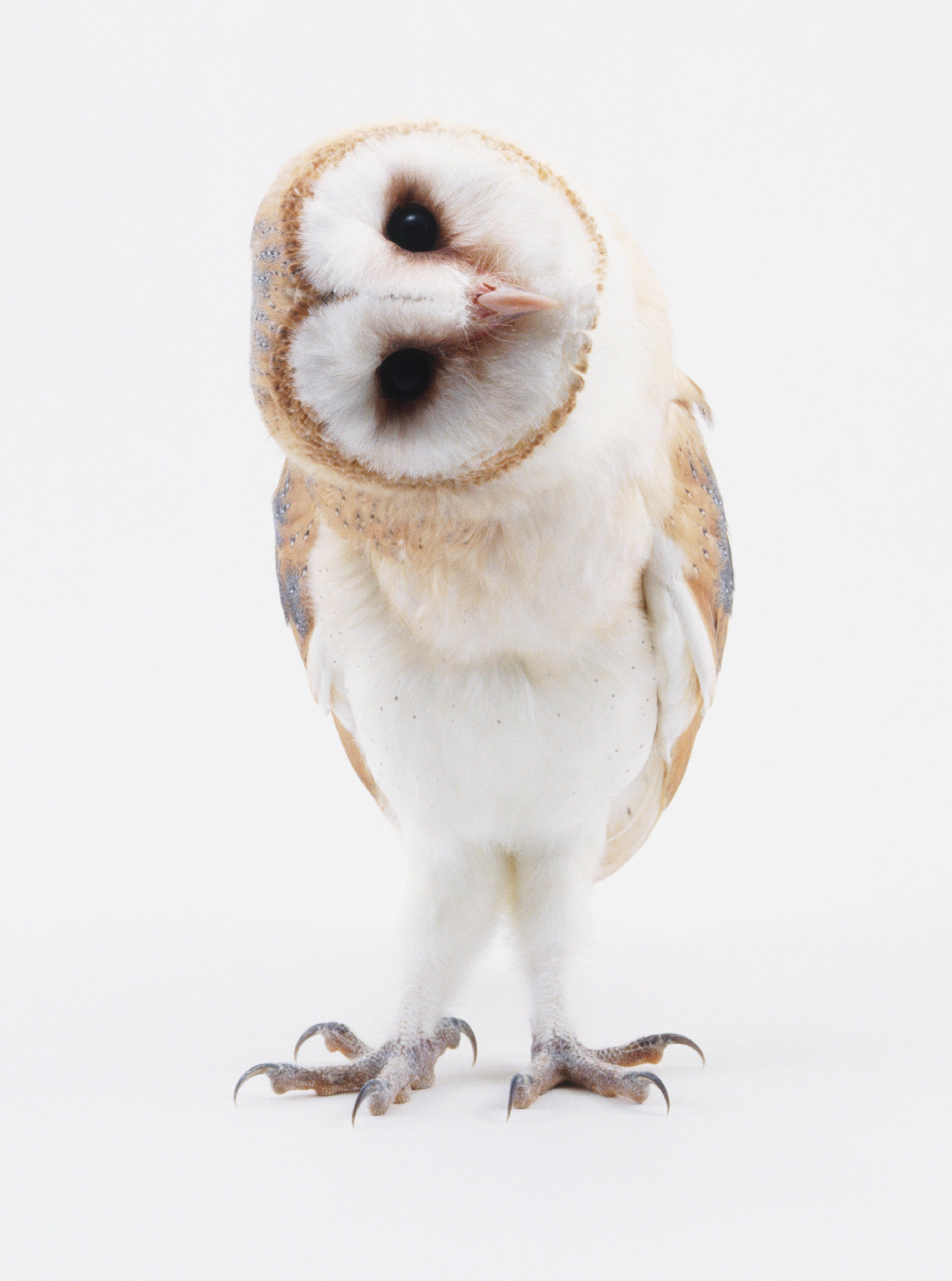 Young Barn Owl (Tyto alba) with head turned