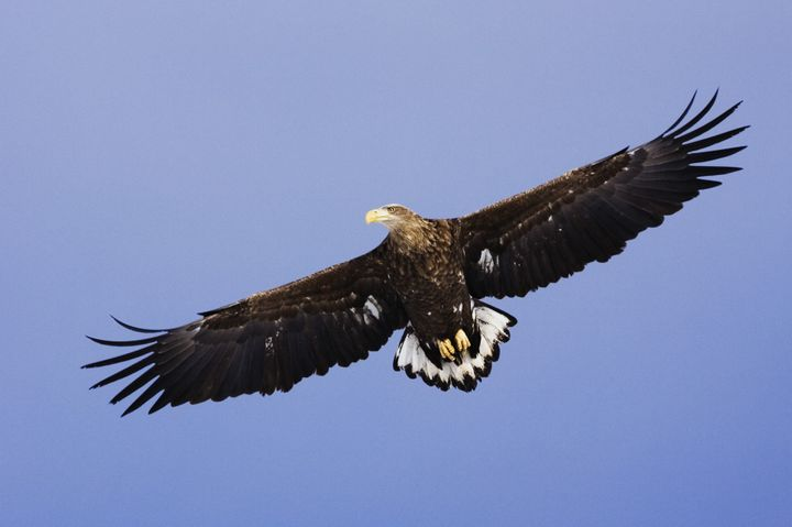 White-tailed eagles' scaly talons are strong and tough enough to seize most consumer-grade drones without injury from the bla