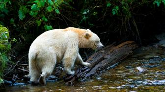 BRITISH COLUMBIA, CANADA - UNDATED: *** EXCLUSIVE *** Adult Spirit Bear or Kermode Bear (Ursus americanus kermodei) by stream fishing for salmon on Gribbell Island, Great Bear Rainforest in British Columbia, Canada. It is startling enough to come face to face with a bear in the wild, but to then discover that it is an incredibly unusual white ÔSpirit BearÕ makes it an exceedingly special encounter. Lucky wildlife photographer and writer Nick Garbutt got within five metres with this spirit bear in British Columbia in Canada. After some sniffing, posturing and a little thought the bear decided that Nick was nothing to be concerned about and went back to fishing for salmon, allowing Nick to get these superb shots. The Spirit Bear, a distinct and rare genetic variant of the more common and widely distributed Black Bear, is an extraordinary sight, appearing to glow Òghost-likeÓ in the dark, primordial forests it inhabits. In the Great Bear Rainforest of British Colombia, there is only one ÔSpirit BearÕ for every 10 regular Black Bears, so Nick believes he encountered one of only around 300 in the world. PHOTOGRAPH BY www.nickgarbutt.com / BARCROFT MEDIA LTD UK Office, London. T +44 845 370 2233 W www.barcroftmedia.com USA Office, New York City. T +1 212 564 8159 W www.barcroftusa.com Indian Office, Delhi. T +91 114 653 2118 W www.barcroftindia.com Australasian & Pacific Rim Office, Melbourne. E info@barcroftpacific.com T +613 9510 3188 or +613 9510 0688 W www.barcroftpacific.com (Photo by www.nickgarbutt.com / Barcroft Media / Getty Images)