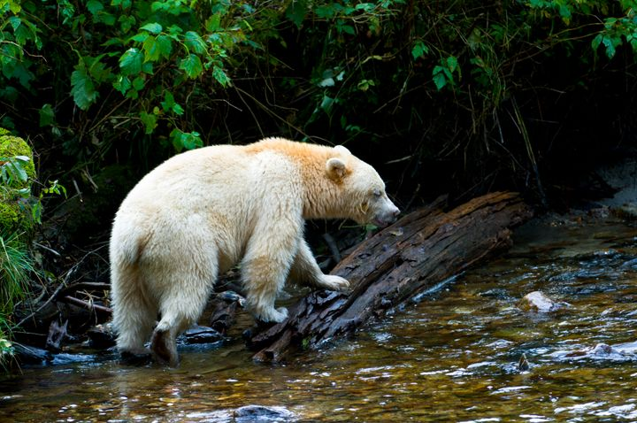 The spirit bear, a rare subspecies of black bear that is not albino, is found almost exclusively in the rainforest.