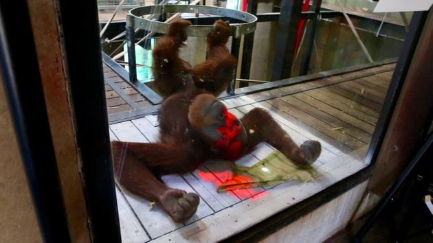 Malu, a 12-year-old orangutan at the Melbourne Zoo, is seen testing out a video game that's projected...