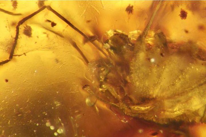 The ancient arachnid,&nbsp;<i>Halitherses grimaldii,&nbsp;</i>and its erection&nbsp;preserved in amber.