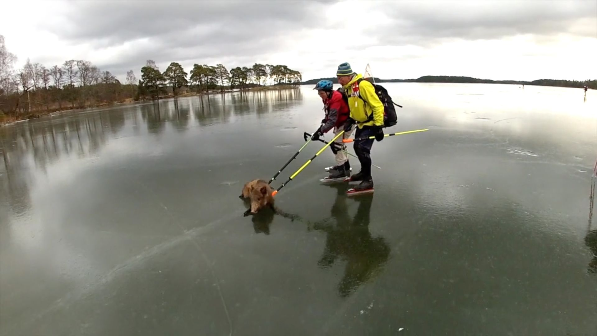 A group of ice skaters are seen sliding a wild bore off a frozen Swedish lake.