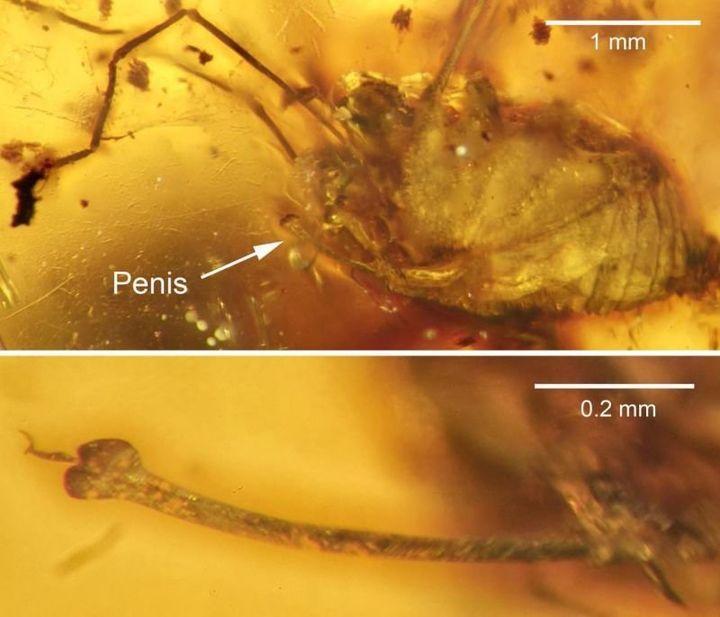 The erect penis of&nbsp;<i>H. grimaldii</i> preserved in amber.