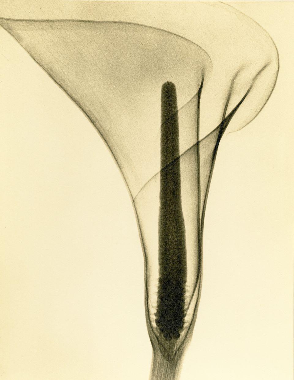 A lily.