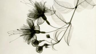 These floral X-rays from the 1920s are on display at the Joseph Bellows Gallery in La Jolla.