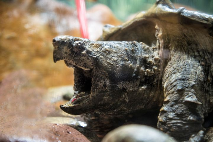 An alligator snapping turtle