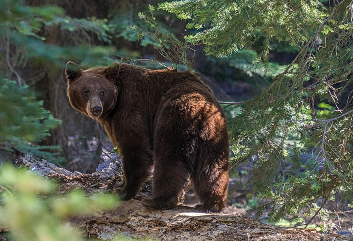 A black bear is seen in Sequoia National Park in California.