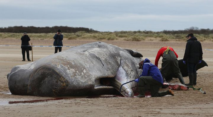 A pathologist from London Zoo performs an autopsy on a dead sperm whale on Hunstanton beach in Norfolk, eastern England, on F