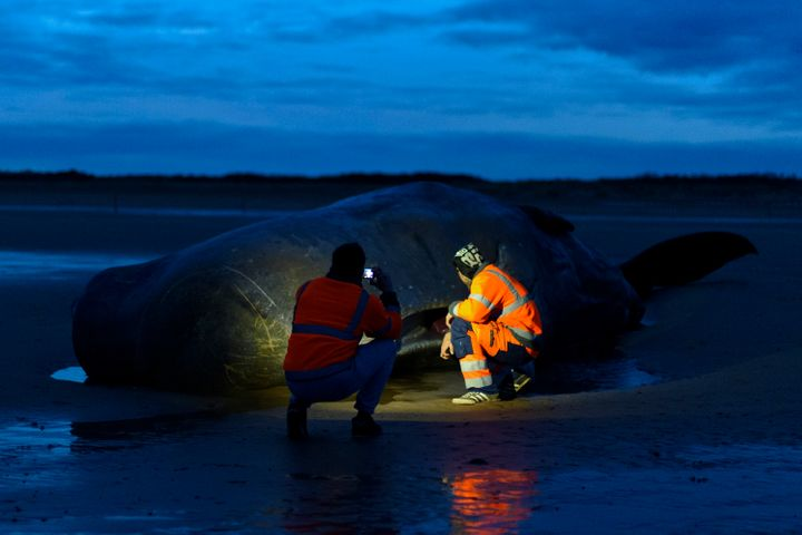 The whale which died on Friday is the 29th to have died after beaching in Europe in the past two weeks.