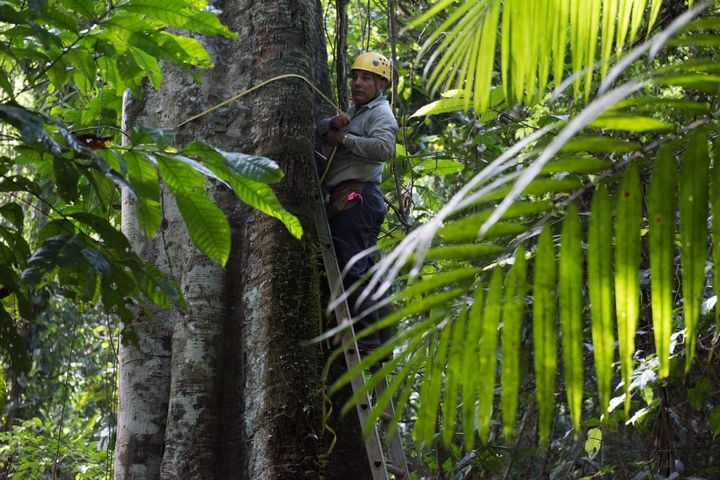 Luis Aguilar of the Smithsonian Tropical Research Institute measures a tree's diameter on Panama's Barro Colorado Island as p