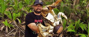 MARK PIERROT COCONUT CRAB ROBBER CRAB CHRISTMAS IS