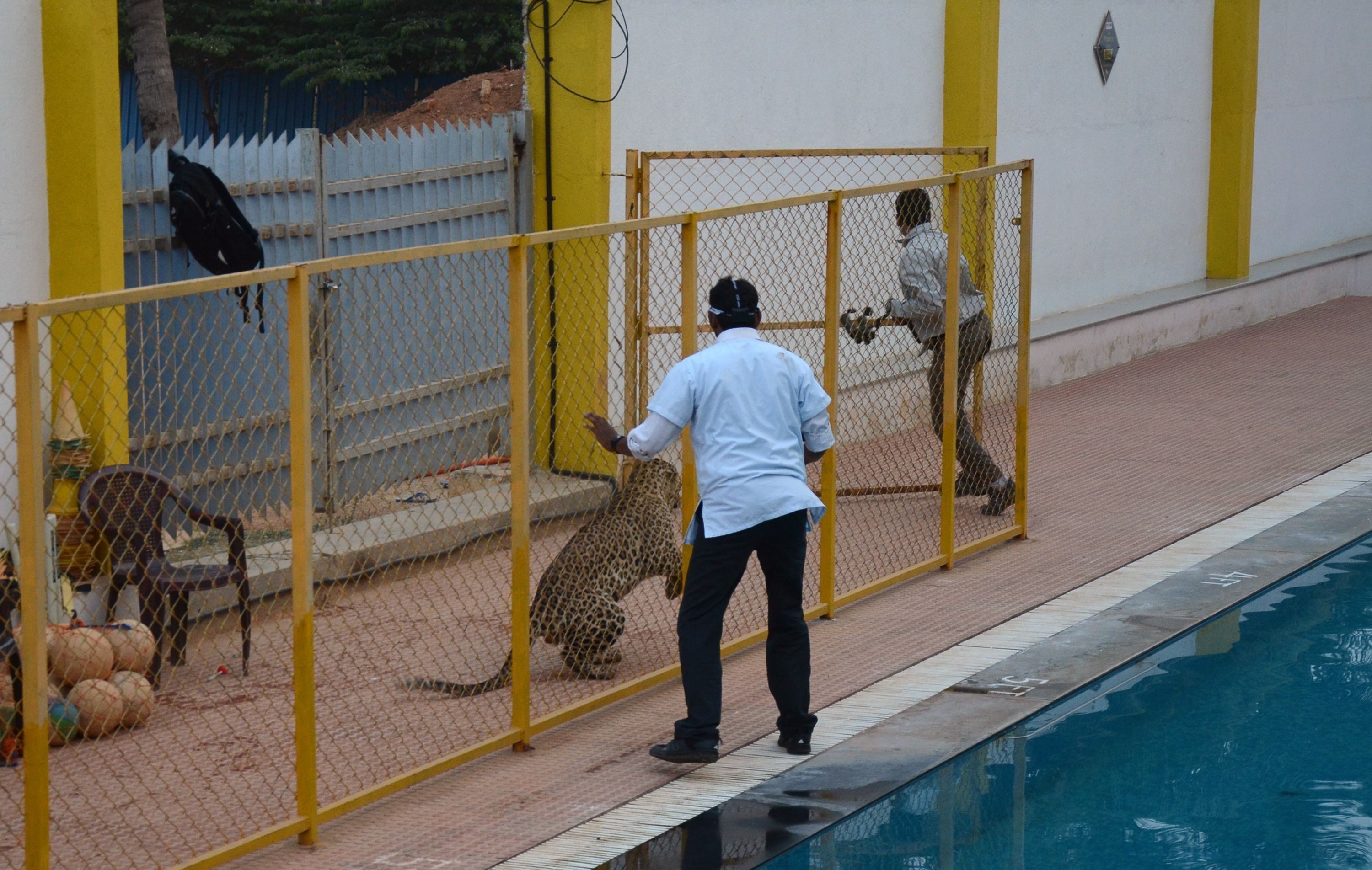 A man identified by Indian media as wildlife conservationist Sanjay Gubbi (R) tries to run away from a leopard at a private school on the outskirts of Bangalore on February 7, 2016. The animal reportedly injured six people before being tranquilized. AFP PHOTO / AFP / STR        (Photo credit should read STR/AFP/Getty Images)