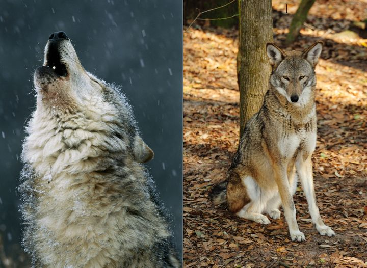 A timber wolf, left, and a red wolf, right, are seen. Researchers say their howls are noticeably different from one another w