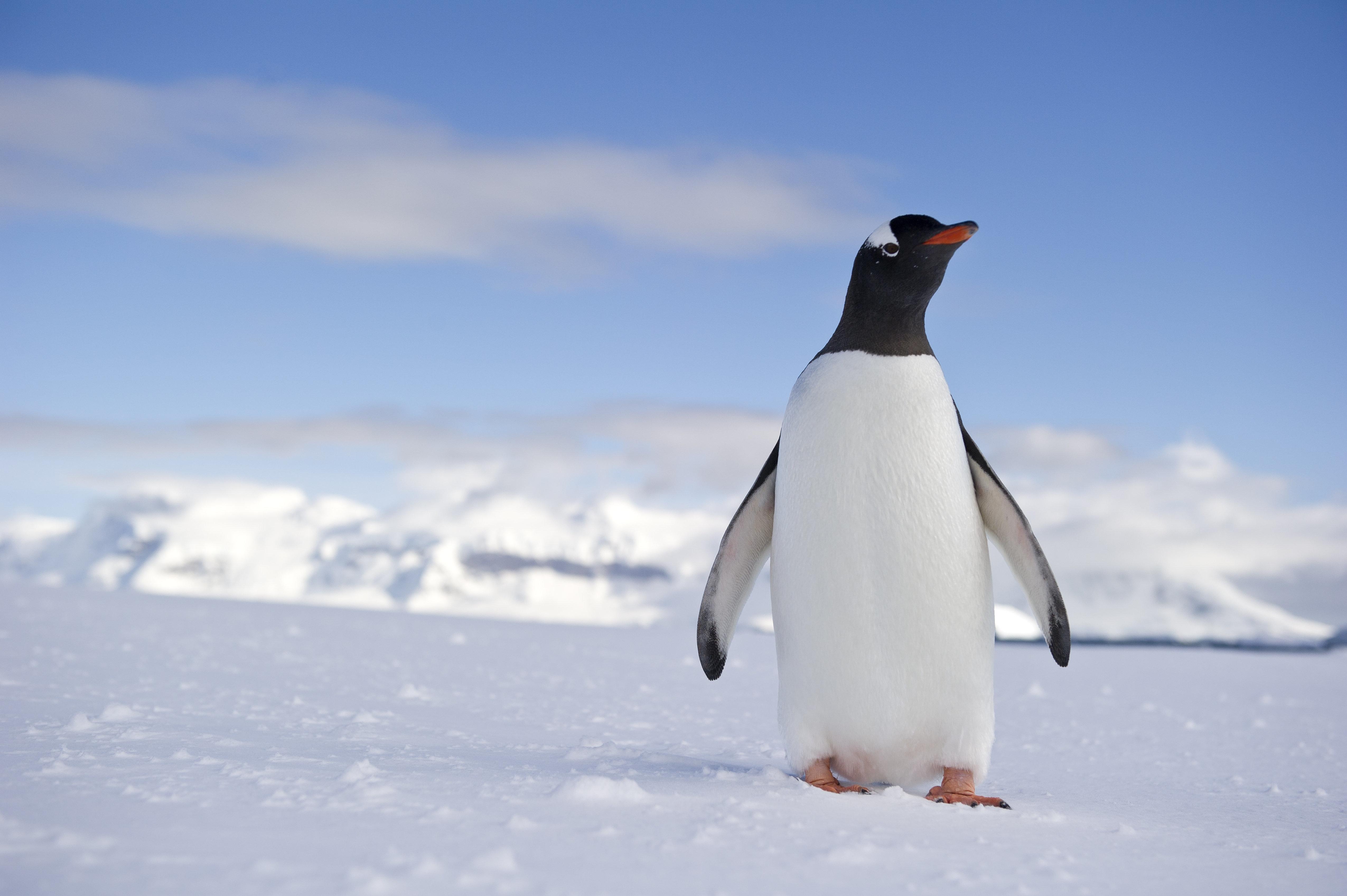 Gentoo penguin (Pygoscelis papua) - Mountain range in the backgroundRongé Island -  Antarctic Peninsula