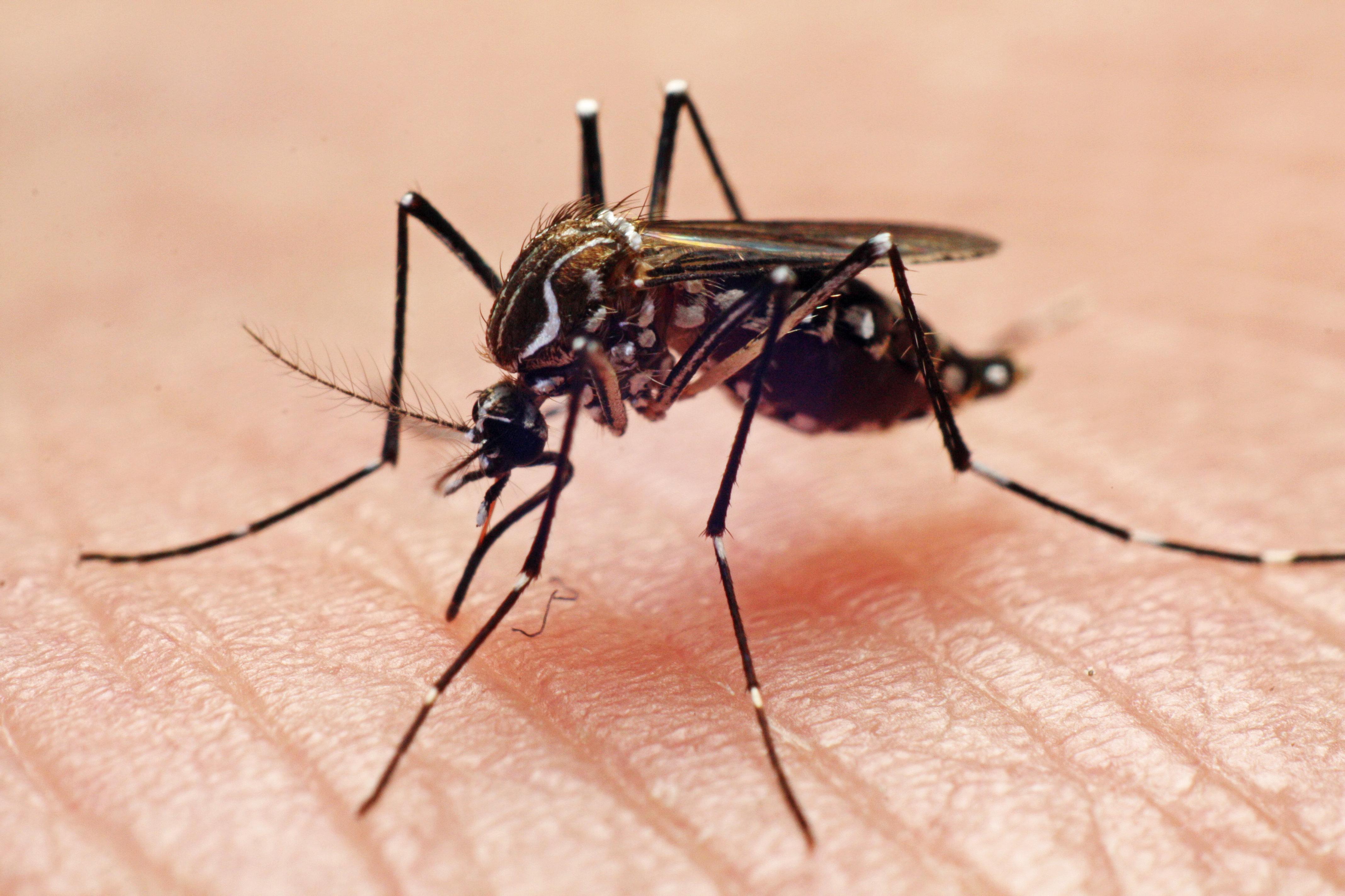Dengue fever vector, mosquito biting hand.