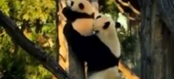 WATCH: Adventurous Panda Cub Needs Mom's Help Getting Down From Tree