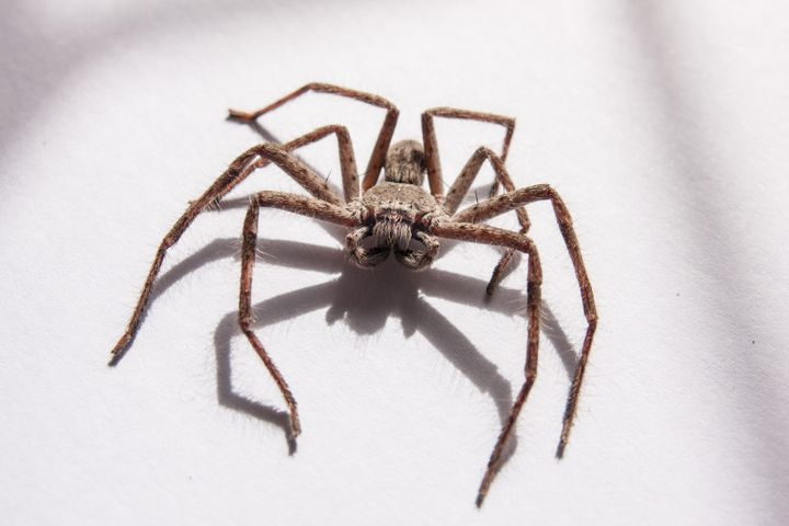 Huntsman spiders are not dangerous to humans though they will bite if being threatened.