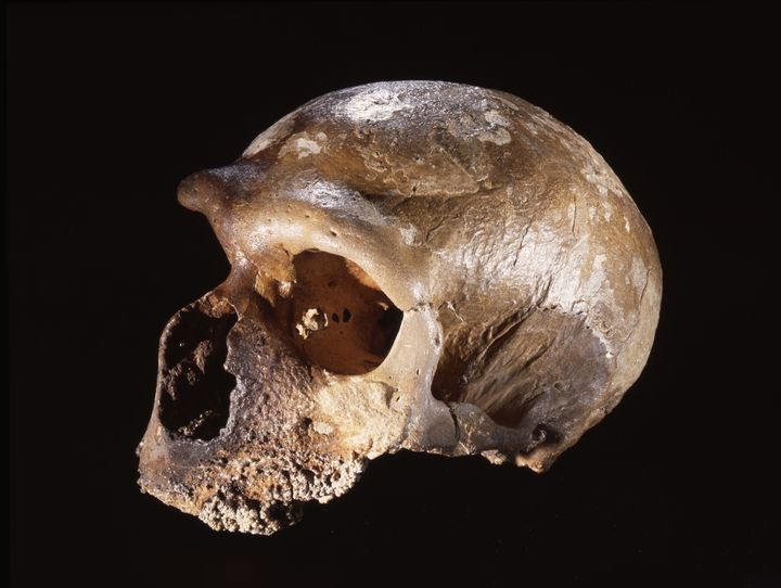 A Neanderthal skull. A new study suggests the species went extinct because it couldn't compete with modern humans.