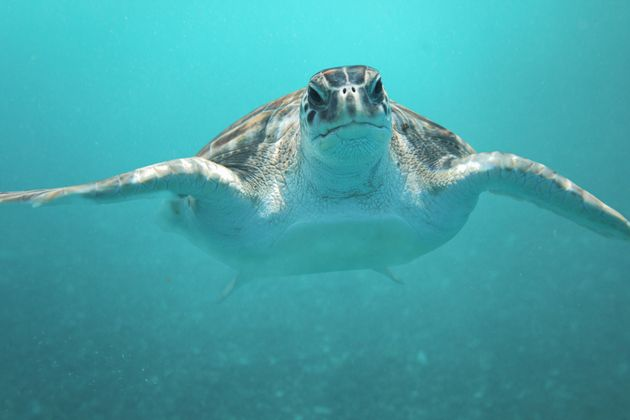 Green sea turtles, like Alby and the one seen here, arelisted as endangered species