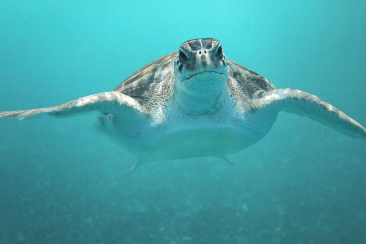 Green sea turtles, like Alby and the one seen here, arelisted as endangered species internationally.