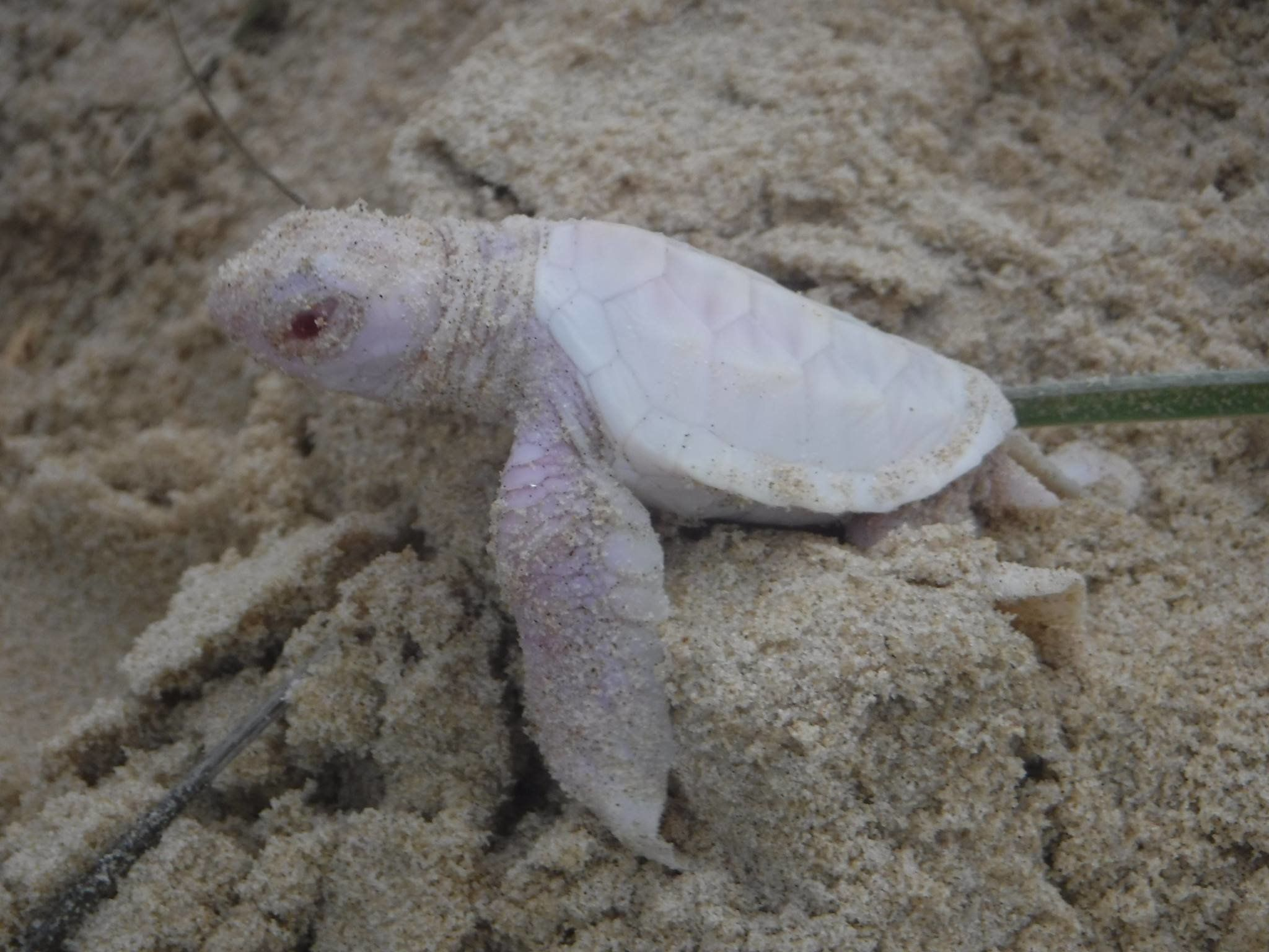 A baby albino sea turtle is seen making its debut along an Australian beach on Sunday.