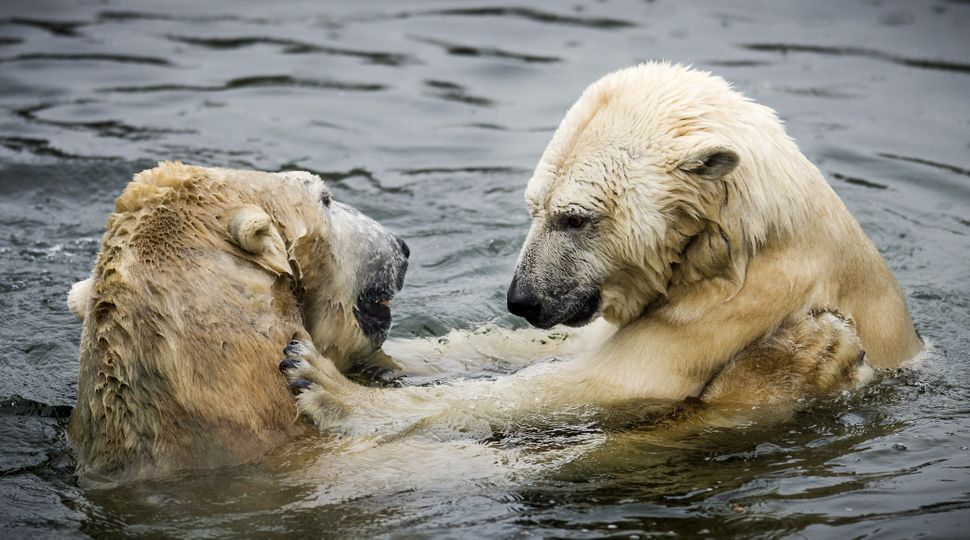 Polar bears Freedom and Viktor cuddle each other in the water at the Ouwehands Zoo in Rhenen on January 23, 2014. The two bea