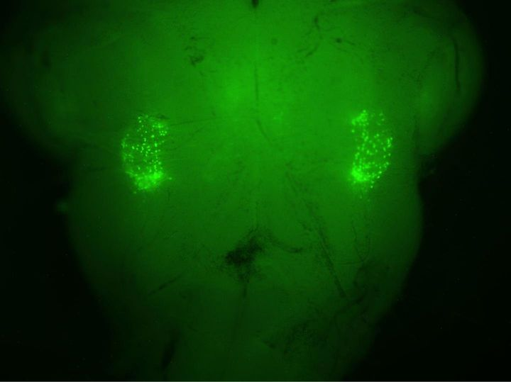 On each side of the brain stem, a florescent-green marker illuminates the two networks of 200 neurons that control the s