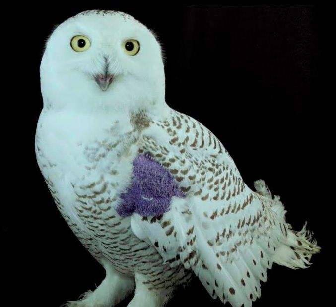 Hedwig wears a purple patch to protect her wing.