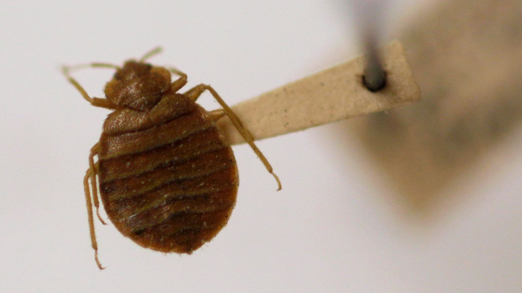 The Reason Bed Bugs Won't Go Away | HuffPost Life