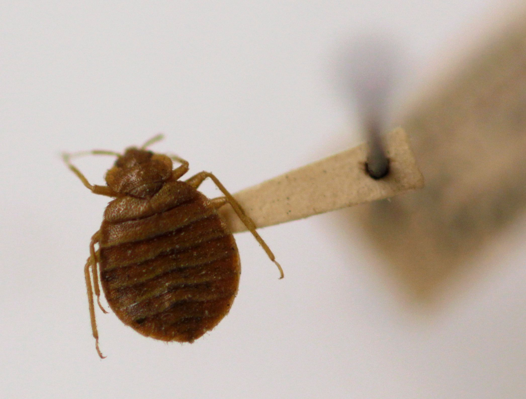 A bed bug is displayed at the Smithsonian Institution National Museum of Natural History, Wednesday, March 30, 2011, in Washington. Spring brings people back outside just as the mosquitoes, ticks, yellow jackets and other bugs emerge to bug us. Though some can pose real threats, such as Lyme disease or life-threatening allergic reactions, most of the time bug bites in this country are just an itchy nuisance. (AP Photo/Carolyn Kaster)