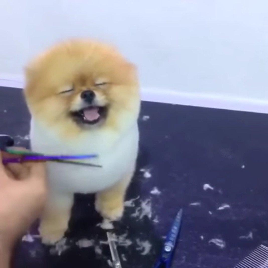 A Pomeranian gets a haircut
