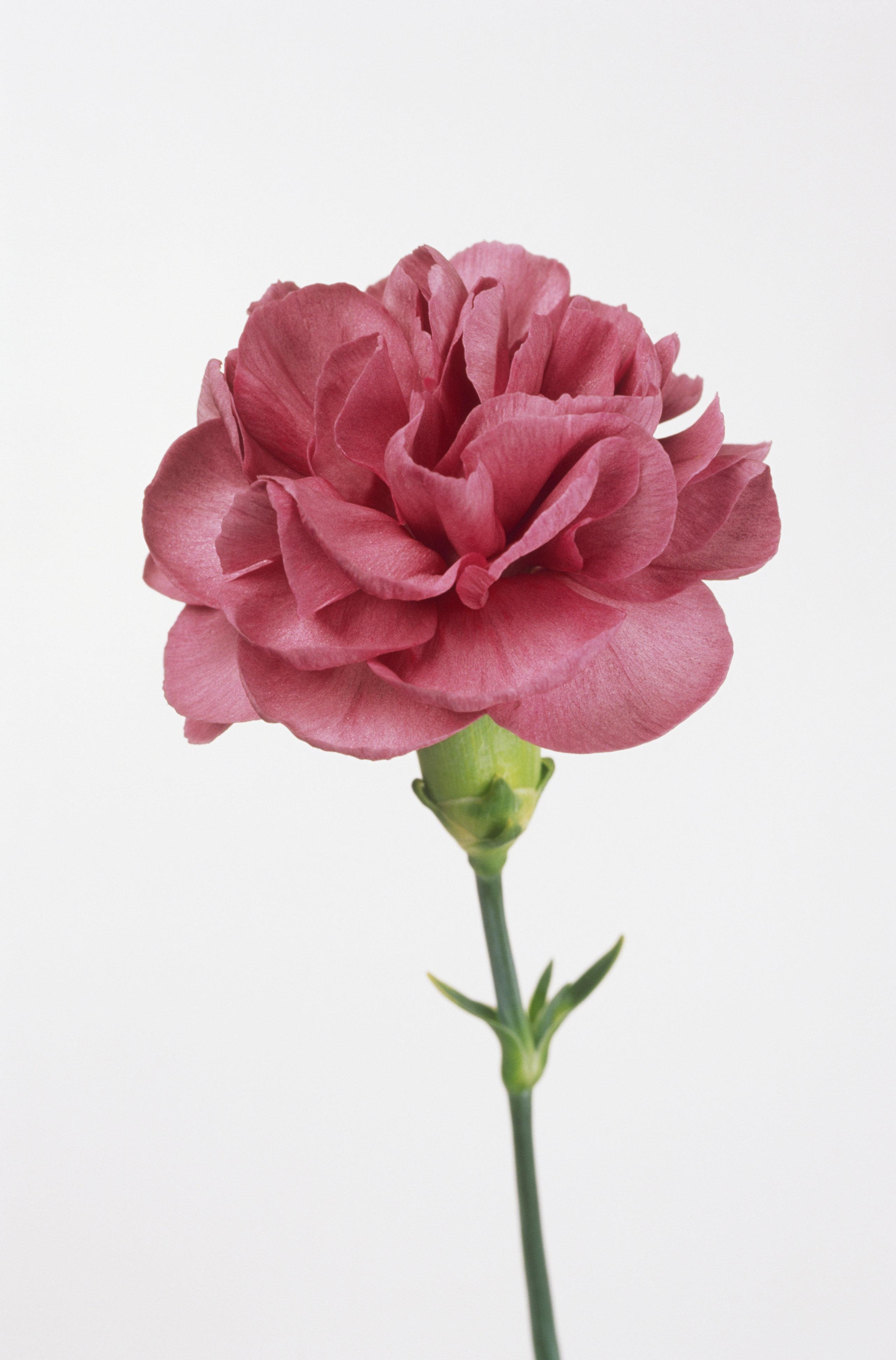 Dianthus 'Lavender Clove' (Carnation), flower head on tall stem, with deep pink petals