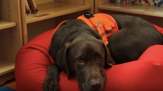 Fernie is an educational assistance dog who helps children in a U.K. school.