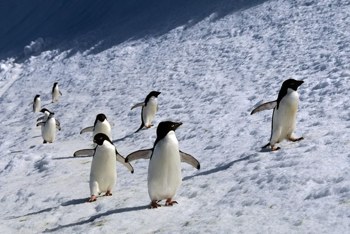 Adelie andChinstrap penguins walkalong snowbank on Laurie Island in 1994.