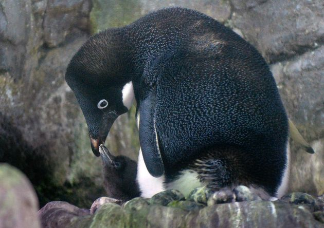 A baby Adelie penguin and mother share a moment at the Osaka Aquarium Kaiyukan on July 26,