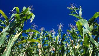 Close Up Of A Corn Field