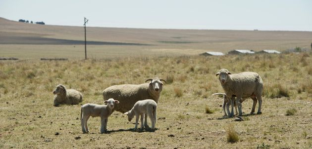 Sheep seen on Manie van Rooys farm on November 6, 2015 near Frankfort, South Africa.Free State...
