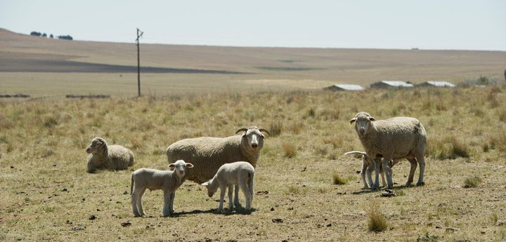 Sheep seen on Manie van Rooys farm on November 6, 2015 near Frankfort, South Africa. Free State farmers have been severe