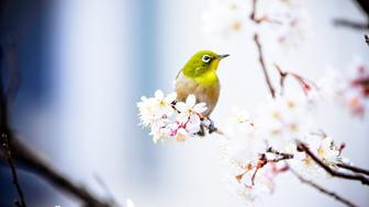 Japanese white-eye perching on the Ume blossoms