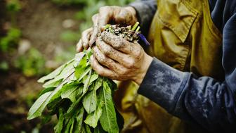 Farmers muddy hands bundling bunch of organic dandelion greens in field