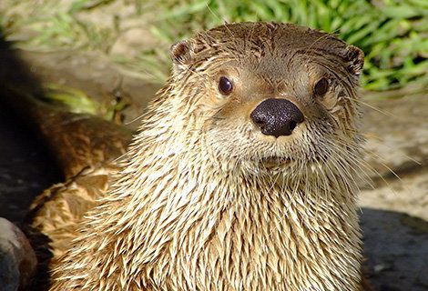 """A river otter at the Calgary Zoo. Logan, one of the zoo's river otters, died recently after two employees gave it a pair of """""""