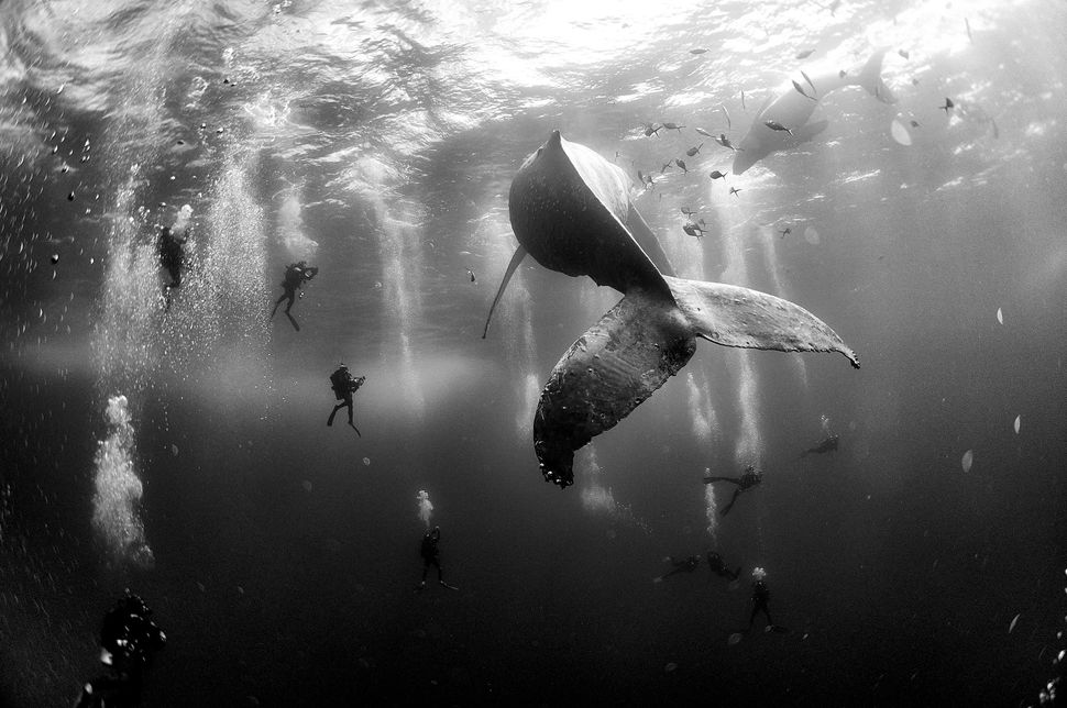 Divers observe and surround a humpback whale and her newborn calf as they swim around Roca Partida in the Revillagigedo