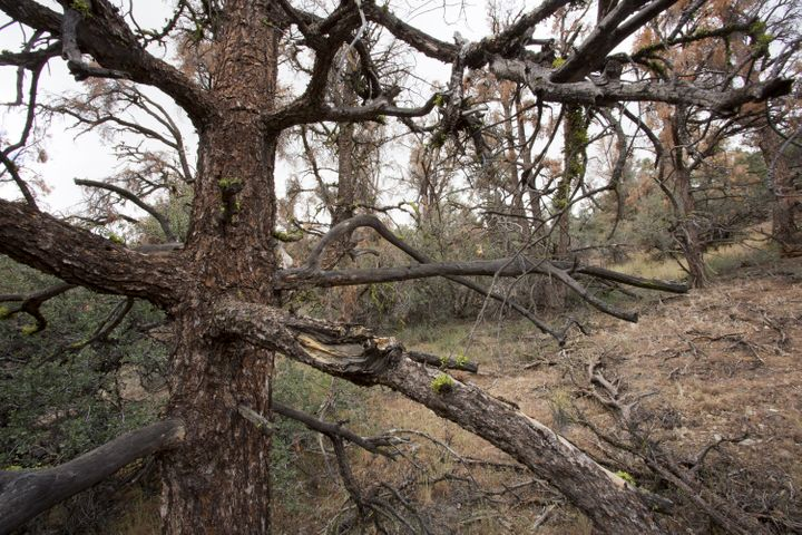 Dead and dying trees are seen in Los Padres National Forest, California. The state's governor, Jerry Brown, declare