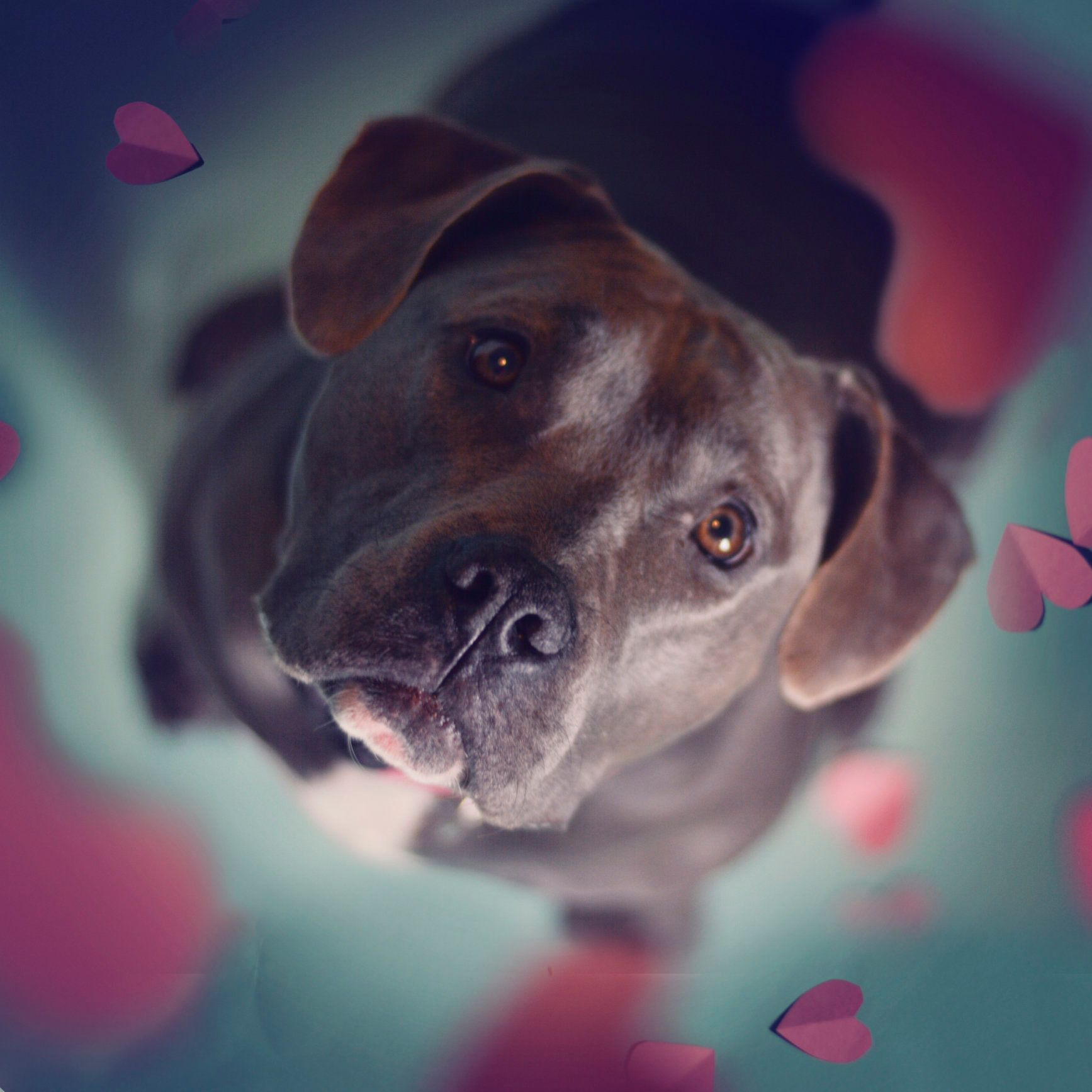 Blue American Pit Bull Staffordshire terrier looks upwards as paper hearts flutter down around her.