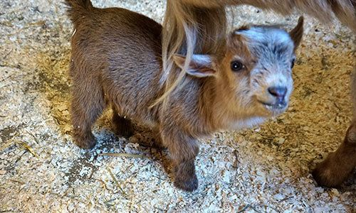 Nigerian dwarf goats are known for their easygoing nature.
